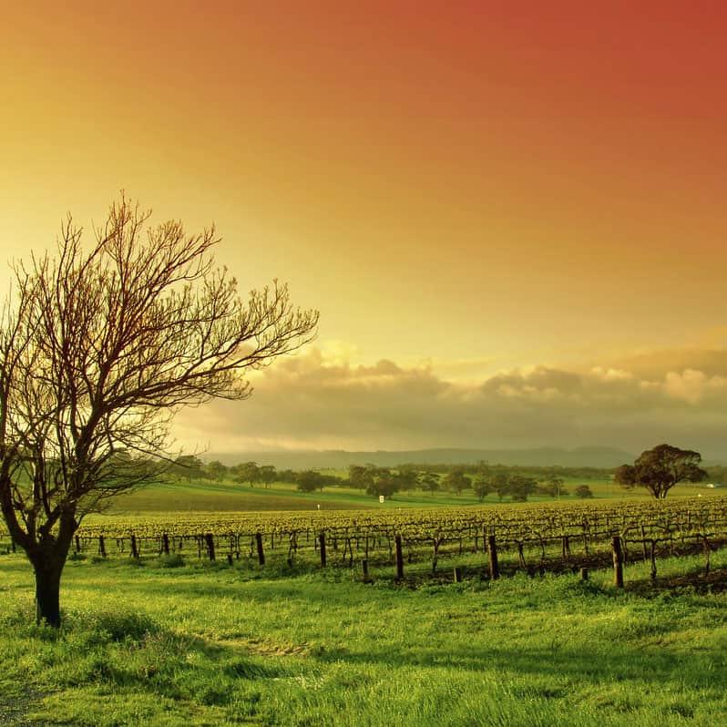 Vinyard landscape at sunrise